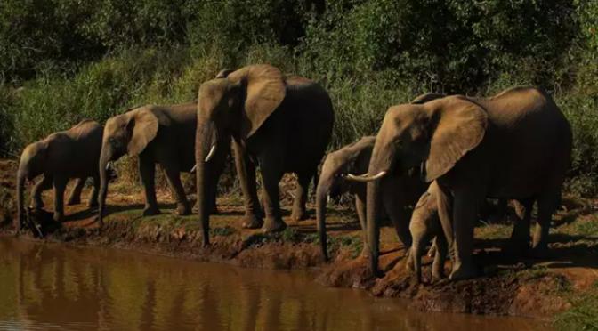 Una bacteria transmitida por el agua, responsable de la muerte de centenares de elefantes en Botsuana (Notimérica)