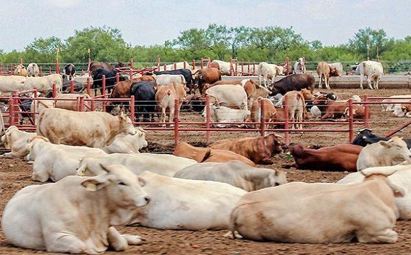 Alrededor de 10 mil litros de agua se gastan para producir un kilo de carne en Sonora, revela investigadora del Colson (Proyecto Puente)
