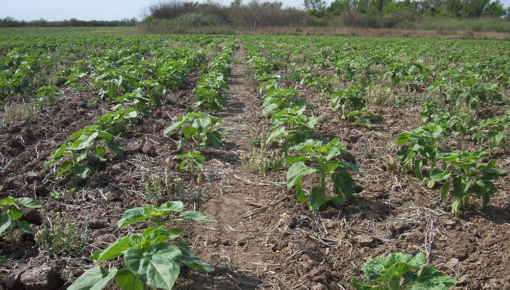 La falta de de agua frenó la siembra argentina de girasol (Infocampo)