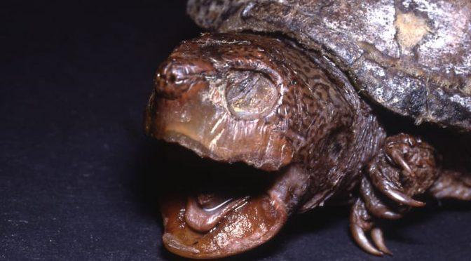 Coahuila: Conoce a la tortuga 100% lagunera que se extinguió por falta de agua. (Milenio)