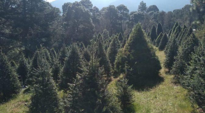 (México) Publica Semarnat nueva NOM-013 para un mayor control de plagas en árboles de Navidad importados (Ecoticias)