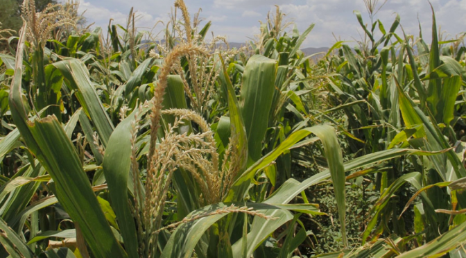 Insuficiente agua para riego deja a sector agrícola pérdidas por 2 mmdp (MILENIO)