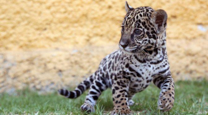 10 especies en riesgo de extinción que aún podemos salvar en México (W Radio)
