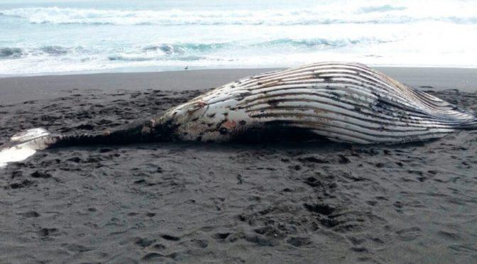 LATAM: Varamientos de cetáceos en Chile, un drama que no cesa (El Ágora)