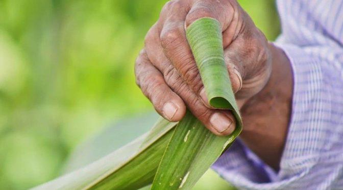 México avanza en la eliminación gradual del glifosato (Portal ambiental)