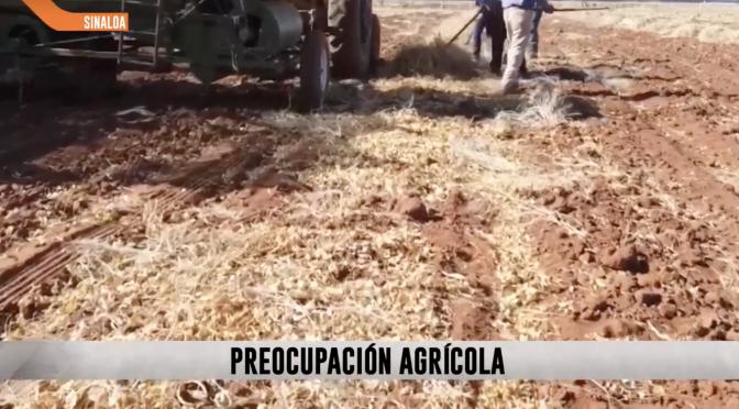Sin: Agricultores prevén caída del 20% de la producción del maíz por falta de agua en Sinaloa (ADN40)
