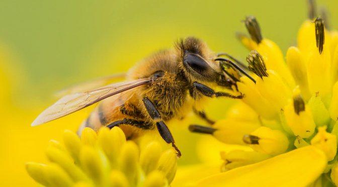Las abejas indican la presencia de microplásticos en el medio ambiente (The Conversation)