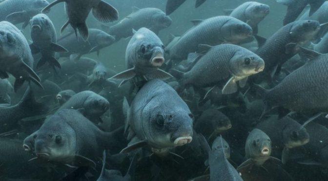 Un tercio de las especies de peces de los ríos de todo el mundo está en riesgo de extinción (Ecoavant)