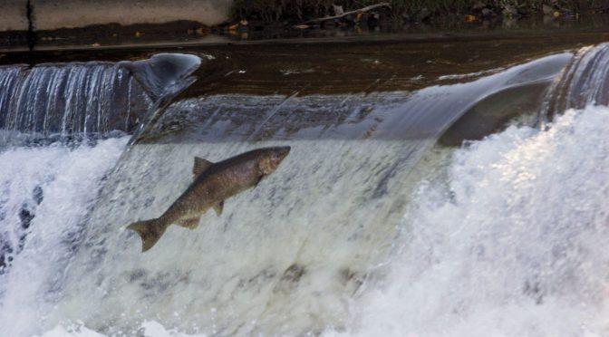 """El salmón atlántico, en situación """"crítica"""" en la península ibérica (EFE Verde)"""