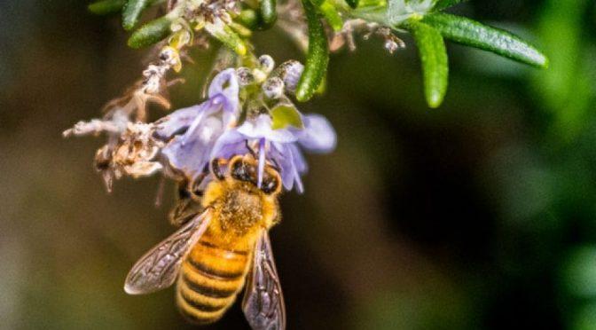 Las abejas son indicadores de la salud del planeta (Portal Ambiental)
