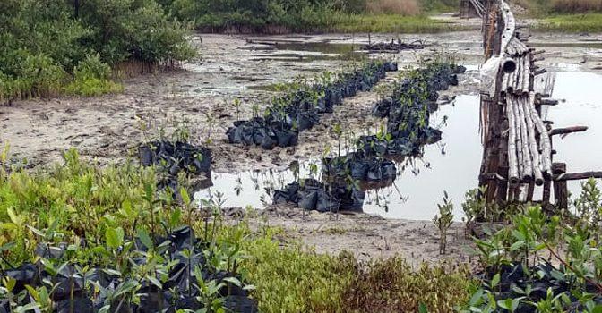 Artículo: La restauración del manglar en la Laguna de Tampamachoco se fortalece con la donación de 2300 juveniles de mangle rojo por APITUX (Instituto de Ecología, A.C.)