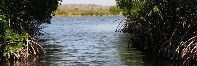 Manglares: ecosistemas vitales por proteger y restaurar