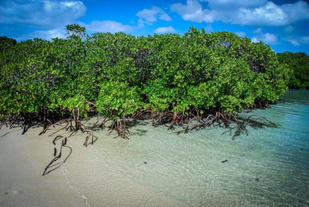 Los manglares son vitales: mira seis cosas que puedes hacer por ellos (ONU)