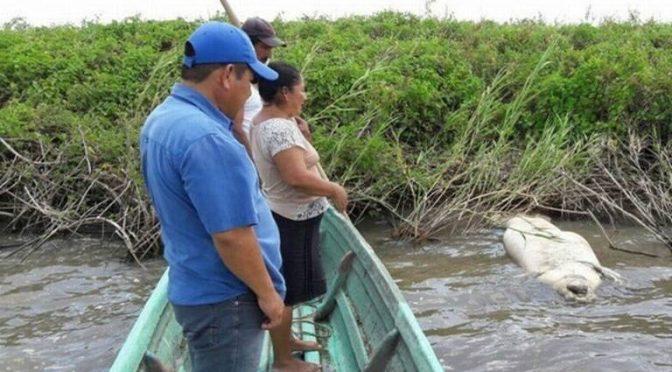 Tabasco-Muerte de manatíes en Tabasco es algo cíclico: especialista (El Heraldo)