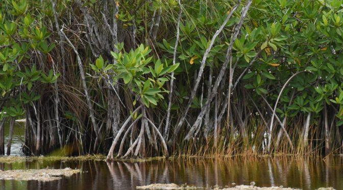 México es el cuarto país con más superficie de manglares en el mundo (Sopitas)
