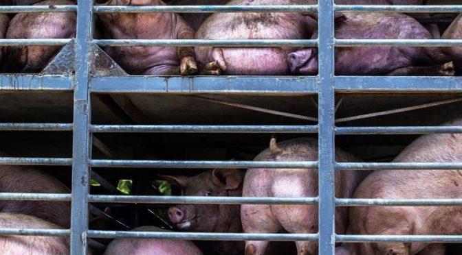 Yucatán – Granjas de cerdos amenazan a pozos sagrados mayas (Excelsior)