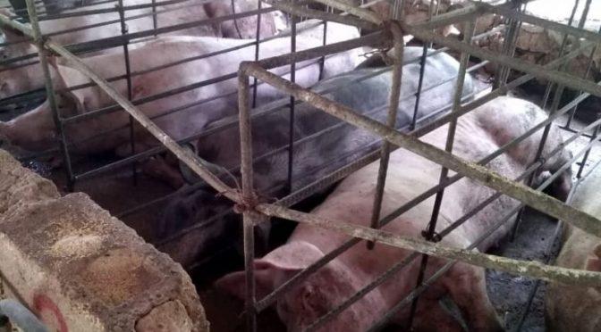 Yucatán – 86% del suelo Yucatán no es apto para la cría de cerdos: UNAM (Por eso)