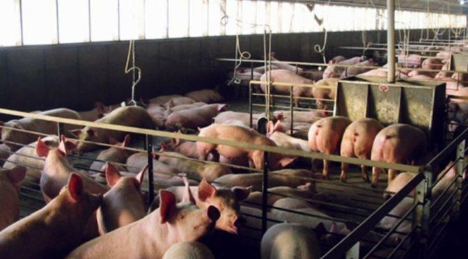 San Luis Potosí – Denuncian contaminación grave por granjas porcinas en San Luis Potosí (La Jornada)